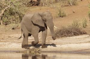 Elephant IMG_2687 v3